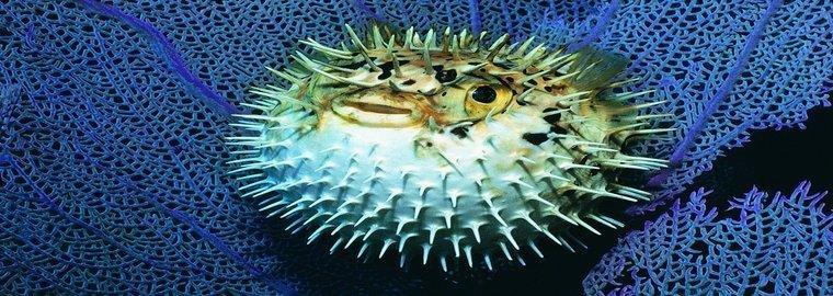 rsz_dis_blowfish.jpg